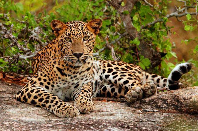 yala luipaard