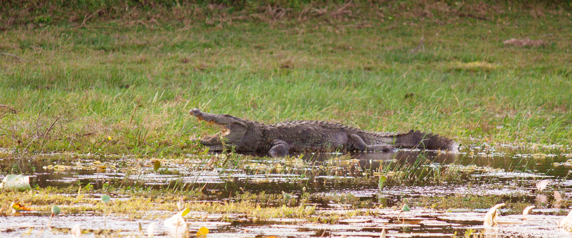 krokodil yala